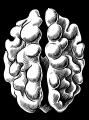 walnut1.png